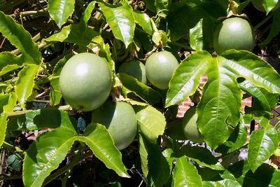 Passionfruitvine-epathram