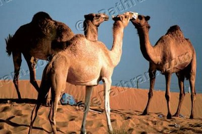 jinoy-viswan-camel-photo