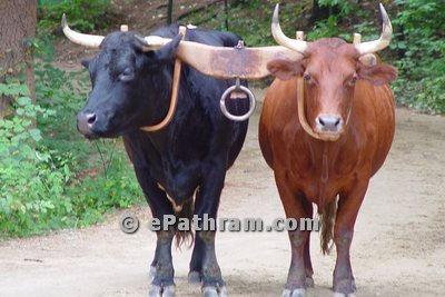 ox-buffalo-epathram