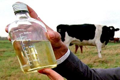 cow-urine-ePathram