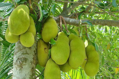 chakka-jackfruit-official-fruit-kerala-ePathram