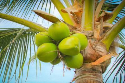 coconut-tree-ePathram