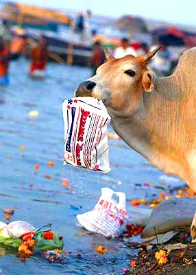 cow-eating-plastic-epathram