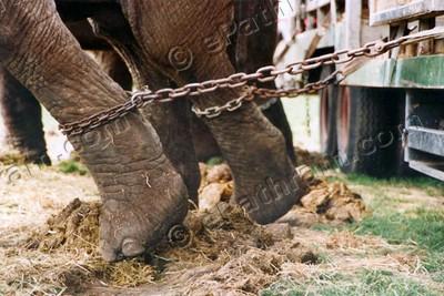 elephant-chained-epathram
