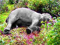 elephant-dead-epathram