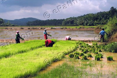 paddy-kerala-wetlands-ePathram