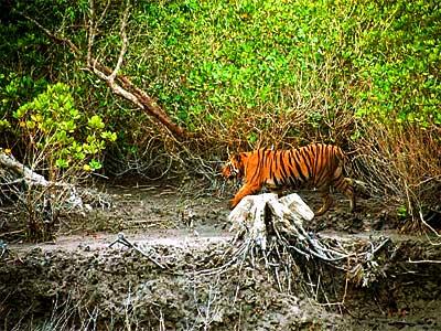 sunderbans-royal-bengal-tiger