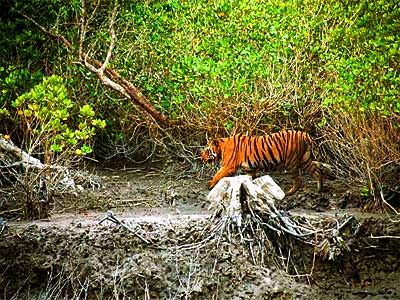 indian tiger epathram