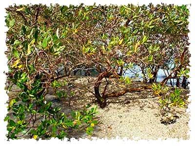 mangrove-epathram