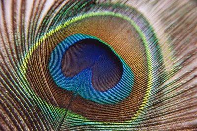Peacock Feather-epathram