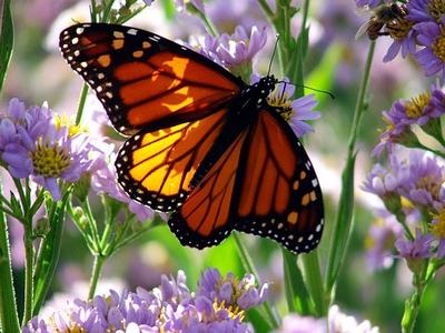 butterfly-epathram