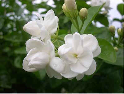 Jasmine-Flower-epathram