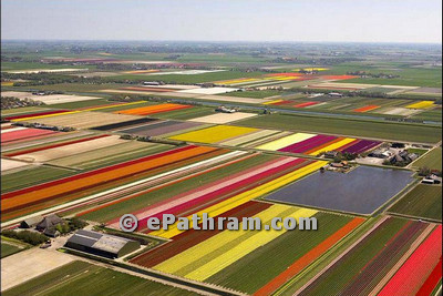 tulip farms in netherland-epathram