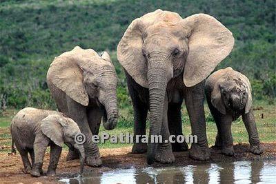 elephant-srilanka-epathram