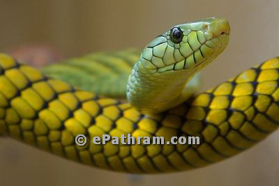 snake-epathram