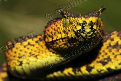 matildas-horned-viper-epathram