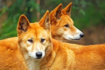 australian-dog-dingoes-ePathram